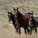 Wild Horses in southwest Wyoming